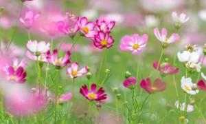 2020年10月广州海珠湿地波斯菊迎来最佳花期