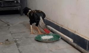 印度一男子参加非法斗鸡比赛,却被自己的鸡杀了