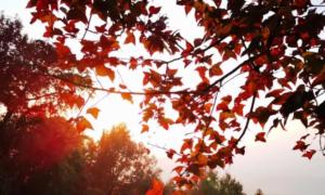 2020广州石门国家森林公园红叶节(观赏时间+交通指引)