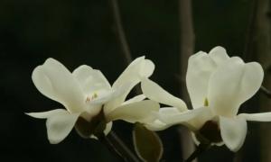 2021广州华南植物园木兰科植物画展(时间+看点)