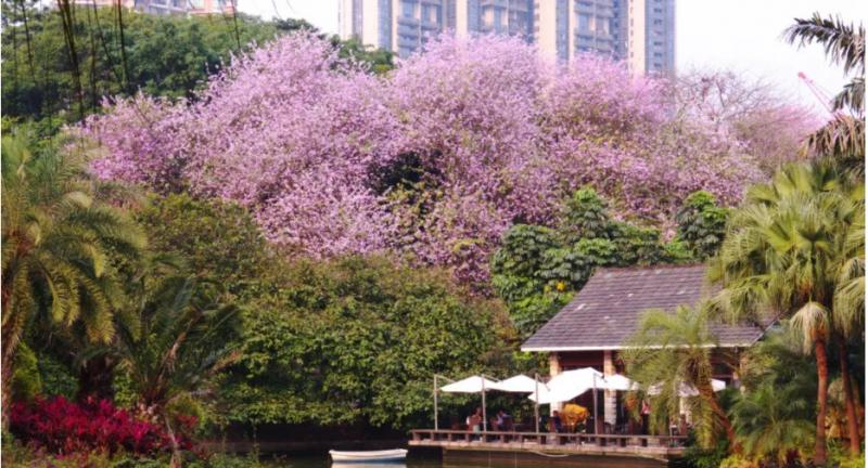 2201广州珠江公园宫粉紫荆花盛放(附最佳观赏时间)
